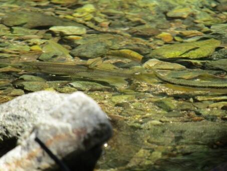 桂川の小魚