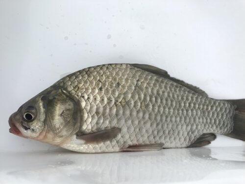 近所の池で釣ったフナを食べてみた!フナ料理は美味しいの? | 釣り ...
