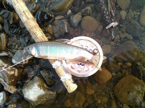 高城川のハヤ釣り