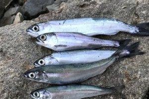 西湖で釣ったヒメマス