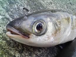多摩川の超危険生物『アリゲーターガー』を討伐せよ!