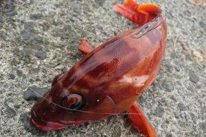 沼津港で釣ったアカハタ