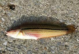 沼津港で釣ったベラ