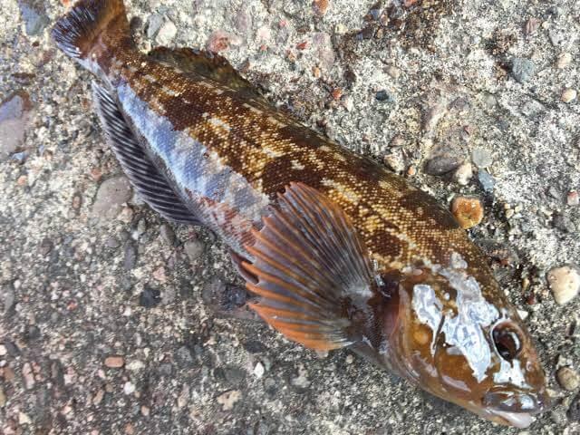 沼津港で釣ったアイナメ