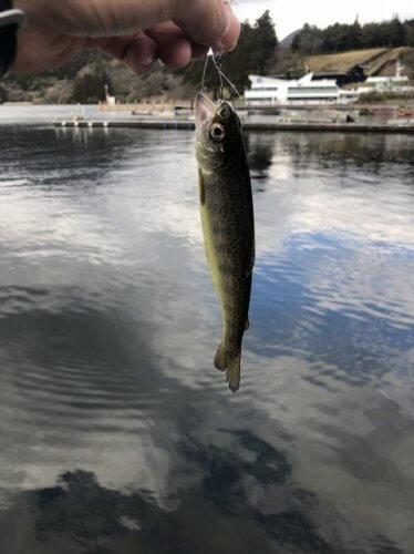 芦ノ湖トラウト