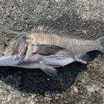 【手軽で簡単】堤防かかり釣りで防波堤からチヌを狙う!